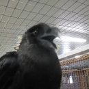 corbeau-africain-dit-bonjour