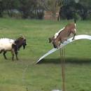 miniature pour Chèvres en équilibre
