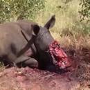 miniature pour Braconnage - Un rhinocéros avec la gueule en sang