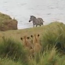 zebre-echappe-groupe-lions