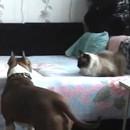 chien-desobeit-maitre-lit