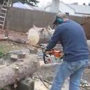 miniature pour Un arbre rebelle se fait couper