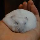 comment-degonfler-hamster