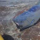 miniature pour Un Oarfish à la surface