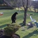 miniature pour 2 Bouledogues chassent un ours