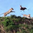 lionnes-attraper-antilope-plein-saut
