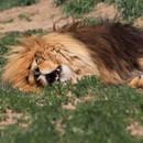 miniature pour Un lion qui rugit pendant qu'il rêve