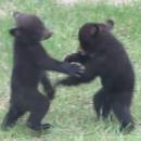 miniature pour Deux oursons qui se battent