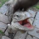 miniature pour Un iguane en animal de compagnie qui se comporte comme un chien