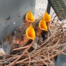 miniature pour Des oisillons dans une station électrique