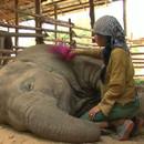 miniature pour Chanter une berceuse à un éléphant
