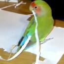 miniature pour Un oiseau se fait des extensions de plumes avec du papier