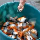comment-attraper-piranhas-bresil