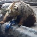 Un ours sauve une corneille de la noyade