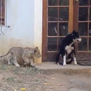lionceau-fait-peur-chien