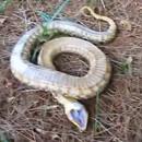 miniature pour Un serpent qui fait le mort se met sur le dos