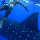 collision-requin-baleine