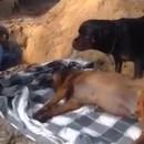 chien-comprend-pas-enterre-ami