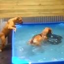 2-bouledogues-recuperer-pneu-piscine