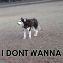 miniature pour Un Husky qui ne veut pas quitter le parc