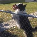 miniature pour Un chien piège un passant pour jouer avec lui