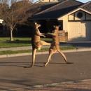bagarre-2-kangourous-rue