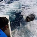 lion-de-mer-nage-derriere-bateau-poisson