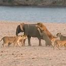 jeune-elephant-attaque-par-14-lions
