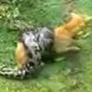homme-sauve-chien-python