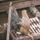 miniature pour Un singe réanime son pote électrisé