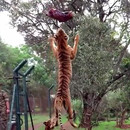 miniature pour Un tigre qui saute pour attraper la viande