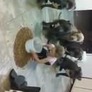 fille-4-ans-nourrit-controle-6-pitbulls