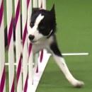 chien-vainqueur-parcours-agility-2015