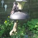 ecureuil-saute-mangeoire-oiseaux