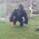 gorille-attaquer-touristes