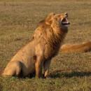 miniature pour Un lion mort de rire