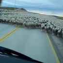 milliers-moutons-bloquer-route