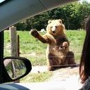 miniature pour Un ours qui attrape un pain de mie