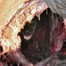 miniature pour Une hyène qui se cache des lions dans la carcasse d'un éléphant
