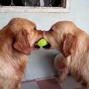 deux-chiens-dispute-balle-tennis