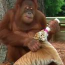 orang-outan-occupe-bebes-tigres