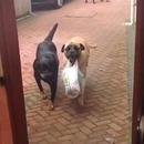 miniature pour Un chien qui aime porter les courses