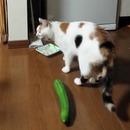 concombre-peur-chat