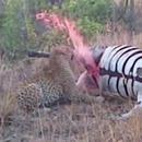 zebre-mort-asperge-leopard-sang
