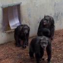 miniature pour Des chimpanzés voient le ciel pour la première fois