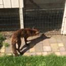 Un renard affamé devant un poulailler