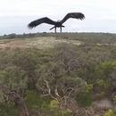aigle-attaque-drone