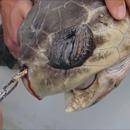 miniature pour Retirer une paille coincée dans le nez d'une tortue