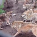 meute-loups-martyrise-plus-faible