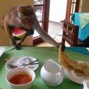 singe-vole-petit-dejeuner